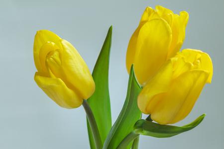 unfold: Close-up of three unfold yellow lemon spring fresh tulips flowers