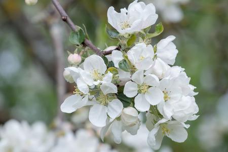 albero da frutto: fiori bianchi di melo ramo frutta.
