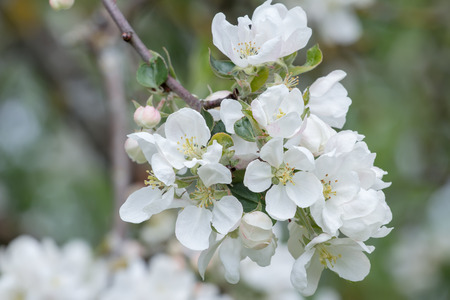 young tree: White spring flowers of apple fruit tree branch.