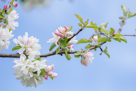 young tree: Spring softness of pink and white apple tree flowers on green branch Stock Photo