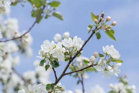 albero da frutto: Bellezza di sorgente di rosa e bianchi fiori di melo sul ramo verde