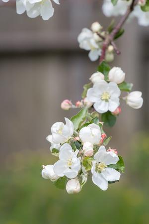 arbol cerezo: Macro de blancas flores del manzano del resorte en la ramificaci�n hermosa