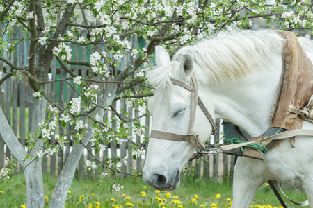 plum tree: Portrait of dozing white working horse at flowering white fruit tree spring background
