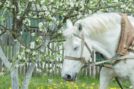 albero da frutto: Ritratto di sonnecchiando cavallo di lavoro bianco alla frutta albero fiorito bianco primavera sfondo