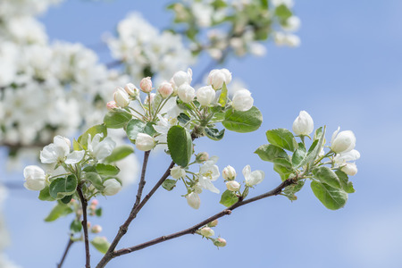 beautiful tree: Spring developing of folding pink and white apple tree flower buds and green leaves Stock Photo