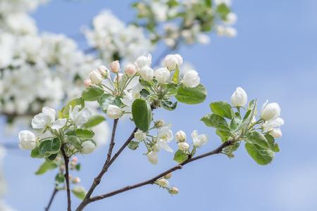 albero da frutto: sviluppo della molla di colore rosa pieghevole e bianchi boccioli di fiori di melo e foglie verdi