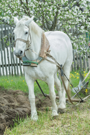 ploughing: White draft horse is ploughing soil in traditional way in springtime Stock Photo