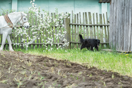 non stock: White work horse and black mongrel dog during spring ploughing fieldwork on farm Stock Photo