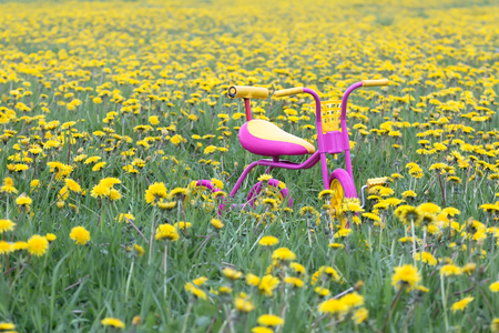 steel frame: Fuchsia color kids tricycle with yellow plastic wheels and steel frame at dandelion flowers meadow covering