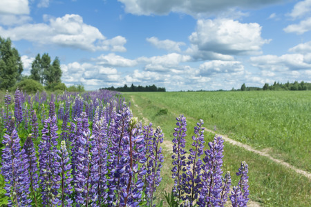 cirrus clouds: White cirrus clouds on blue daylight sky above farm field and lupine flowers at foreground Stock Photo