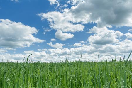 ultramarine blue: Ultramarine blue cloudy heaven above farm green oat and pea field
