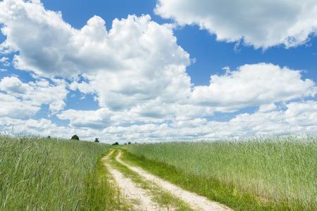 secale: Farm unripe rye field under white cirrus clouds and azure blue sky