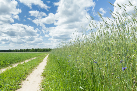 secale: Blue sky with white clouds above rural dirt road in cereal rye field and wild cornflowers