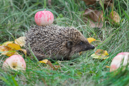 spines: Adult hedgehog is walking in garden and carrying red apple on its spines