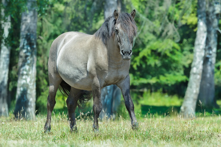 full length portrait: Full length portrait of looking at camera heck horse at green summer forest background Stock Photo