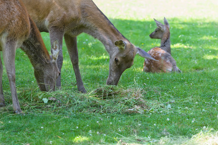 full length herbivore: Grazing hinds or red deer female with resting fawn on sunny summer grassland
