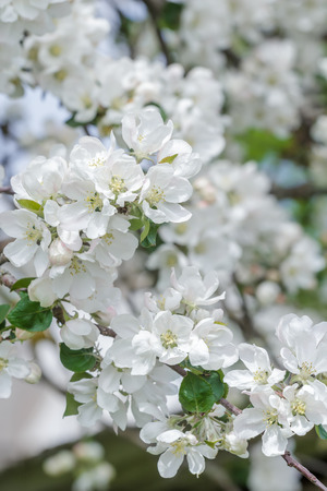 unfold: Beautiful apple tree pink and white flowers on new spring branch
