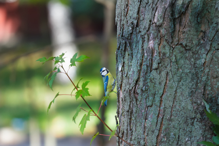 caeruleus: Adult Eurasian blue tit or Cyanistes caeruleus looking for food on Norway maple tree trunk Stock Photo