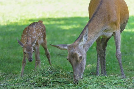 full length herbivore: Little adorable fawn following its grazing mother deer in green summer wood Stock Photo