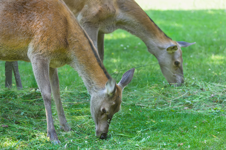 full length herbivore: Two grazing hinds or red deer female animals on hot summer grassland