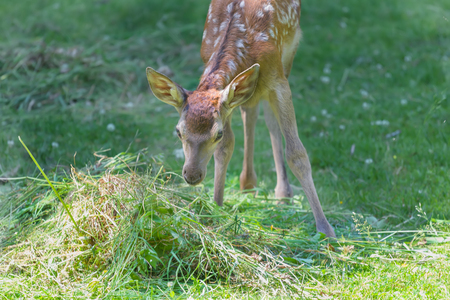 full length herbivore: Little adorable fawn smelling green grass in hot summer meadow outdoors