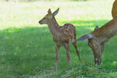 full length herbivore: Little cute fawn standing near its grazing mother deer in green summer wood