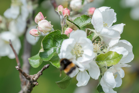 bumblebee: Blurred flying bumblebee at spring apple tree soft flowers background Stock Photo