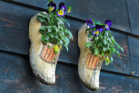 klompen: Traditional Dutch wooden clogs klompen using as garden pot for flowering pansy plants