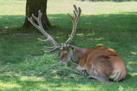 huge antlers: Lying grazing mature stag with huge antlers crown on its head