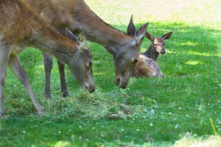 full length herbivore: Two feeding hinds or red deer female with resting fawn on green summer grassland