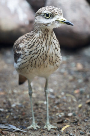 dry land: Portrait of adult stone curlew at rocky dry land background