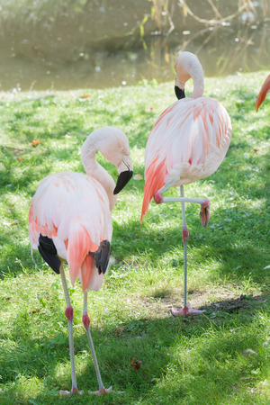pink floyd: Full length portrait of two Chilean flamingos are preening itself