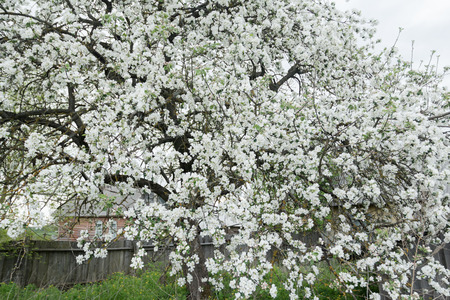 cowering: Flowering apple tree in spring garden is covering with snowy white flowers at old wood farm log house background Stock Photo
