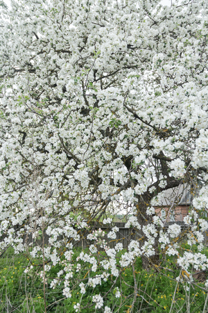 cowering: Blooming apple tree in spring garden is covering with snowy white flowers at old wood farm log house background Stock Photo