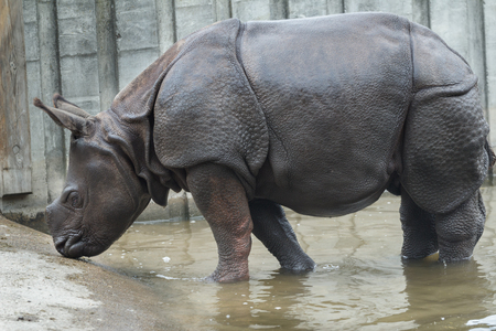 muddy: Young Indian rhinoceros is bathing in summer muddy water outdoors Stock Photo
