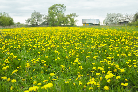 cowering: Country landscape of spring meadow with yellow flowering dandelions and old farm log house at background Stock Photo