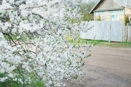 plum tree: Flowering cherry plum tree in spring garden is covering with snowy white flowers at old wood farm log house background Stock Photo