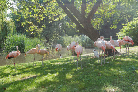 pink floyd: Flock of Chilean flamingos are preening itself at green summer outdoor background Stock Photo