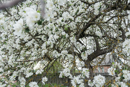 cowering: Old garden apple tree in spring full bloom covering with snowy white flowers at country farm log house background Stock Photo