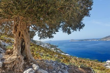 huge tree: South European landscape with huge ancient olive tree and sea blue bay on Greek Kalymnos island