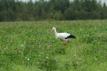 White stork is feeding outdoors on clover summer meadow