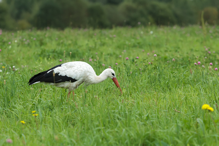 White stork is feeding outdoors and swallowing green caterpillar on clover flowering meadow Stock Photo