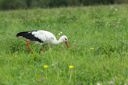 monogamous: White stork is feeding outdoors on clover farm meadow