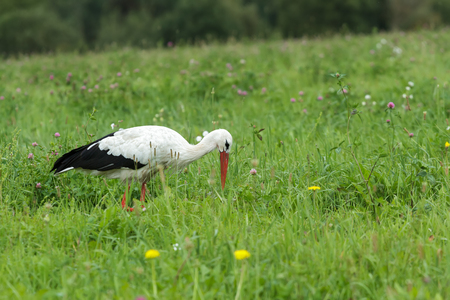 White stork is feeding outdoors on clover flowers meadow