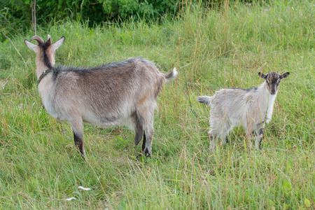 Domestic doe goat and its kid outdoor in summer Stock Photo