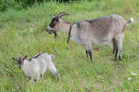 Farm domestic goat and its kid outdoor in summer
