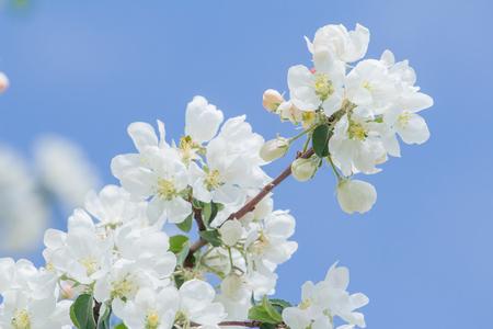 Germogli e fiori bianchi di melo sul ramo della molla al fondo del cielo blu a marzo Archivio Fotografico - 94350540