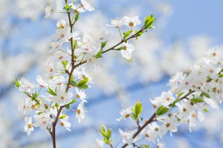 Fondo della ciliegia del fiore della primavera dei fiori e del cielo blu bianchi e rosa Archivio Fotografico - 94452365