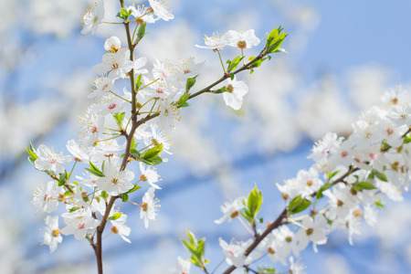 Spring blossom cherry background of white and pink flowers and blue sky Reklamní fotografie