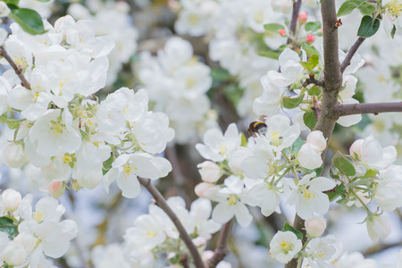 Bombo che impollina i fiori bianchi e germogli di di melo del giardino all'aperto Archivio Fotografico - 94516839